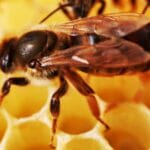 Wissenschaftliche Sensation: Honig aus Bienensperma gewonnen