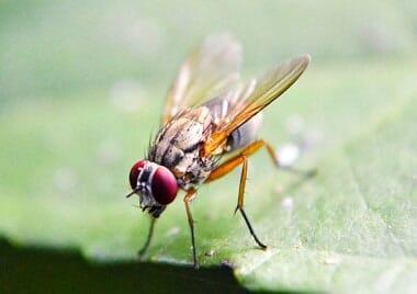Der Samenerguss männlicher Fruchtfliegen - höchstes Liebesglück