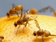 Der Samenerguss männlicher Fruchtfliegen