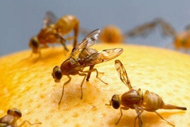 Liebesglück: Der Samenerguss männlicher Fruchtfliegen